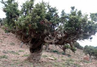 árvore-marrocos