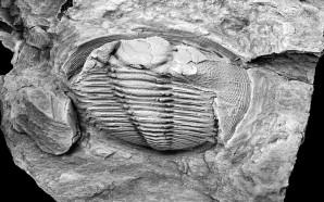 Nova espécie de animal fóssil com 455 milhões de anos…