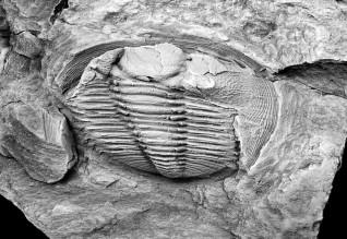 Radnoria-guyi_nova-trilobite_descoberta-em-Portugal_direitos-reservados