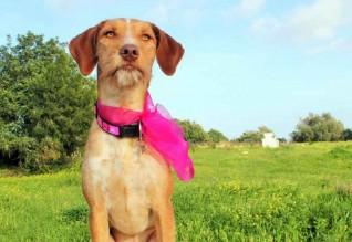 A cadela Aurora foi atropelada em outubro e salva pela ADAP. Tem hoje uma nova família.