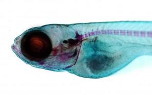 CCMAR mostra potencial do peixe-zebra como modelo biomédico