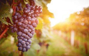 A plantação de vinhas e a reforma da PAC