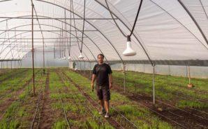 Salicórnia para exportação produzida na Figueira
