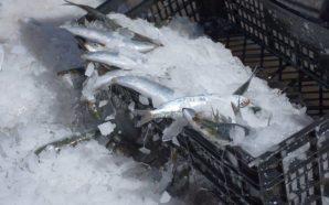 Nova fábrica de peixe congelado em Odiáxere é investimento de…