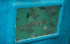 Oceanos mais ácidos provocam perda de olfacto nos peixes