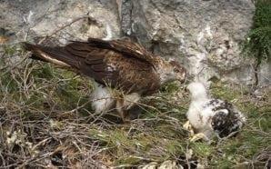 Sobrevivência da águia-de-bonelli está ameaçada alerta SPEA