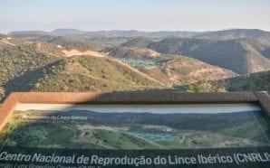 Lince Ibérico: governo apresenta resultados no pós-incêndio de Monchique