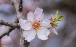 Loulé Criativo convida a descobrir as amendoeiras em flor