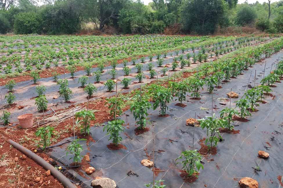 Plantação da Algarve Peppers