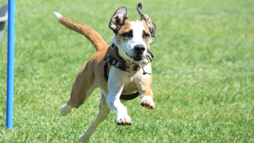 Iron Dog organiza troféu de obediência canina