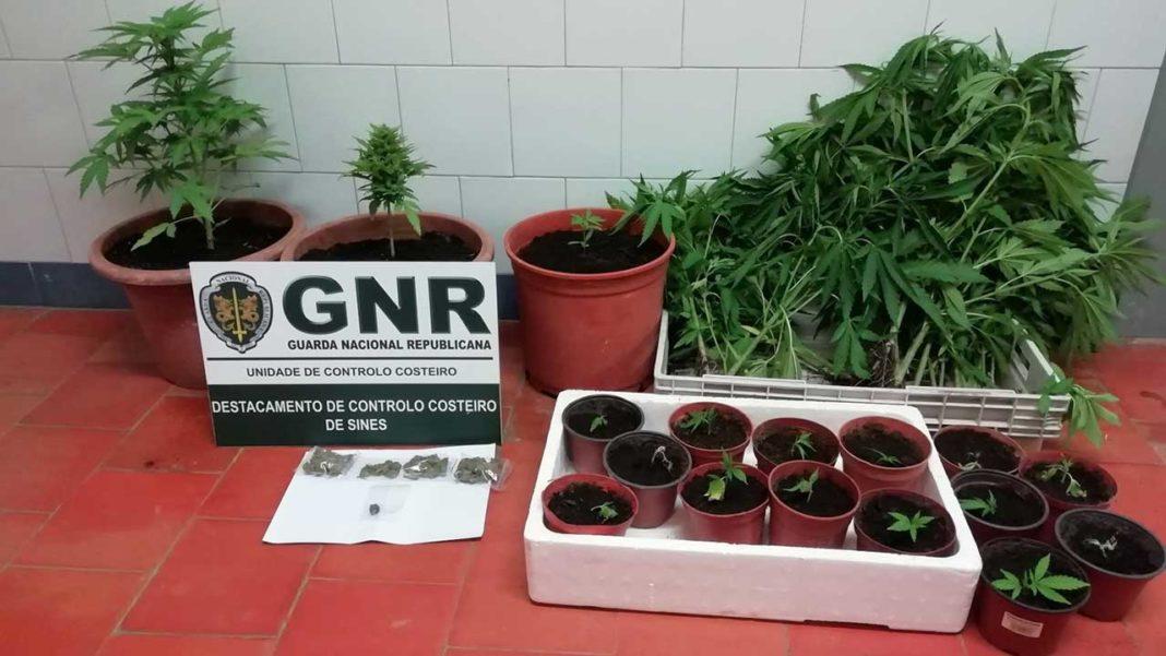 Plantação de Cannabis em Aljezur