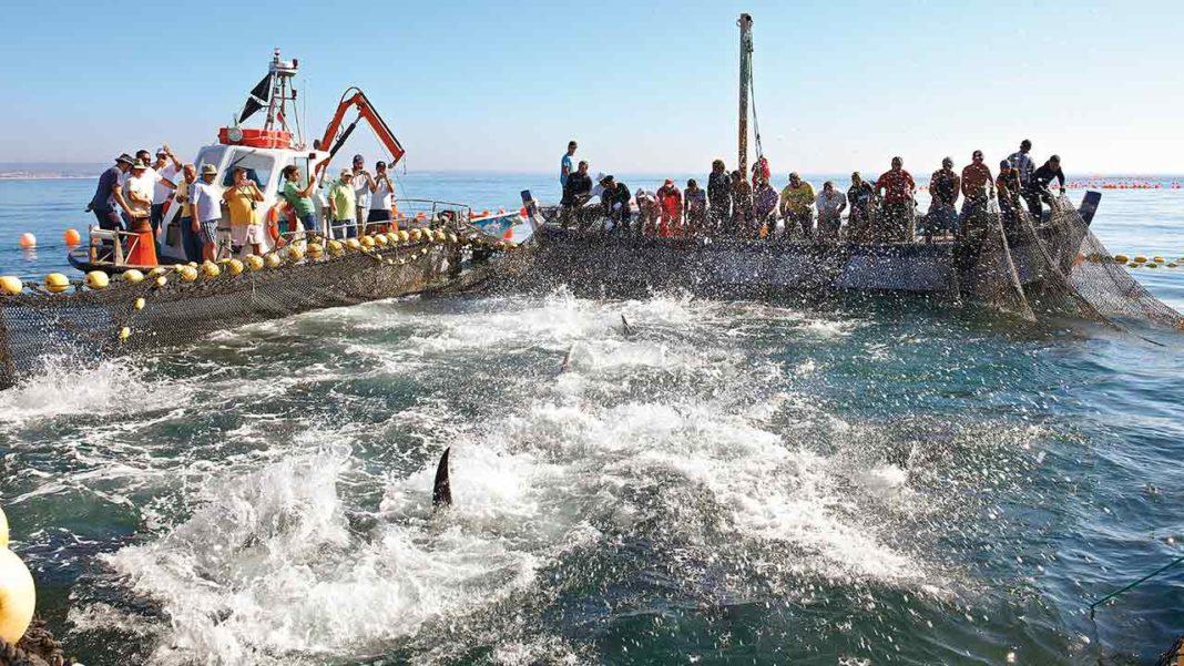 Município promove 1ª Mostra de Atum-rabilho de Olhão no próximo sábado