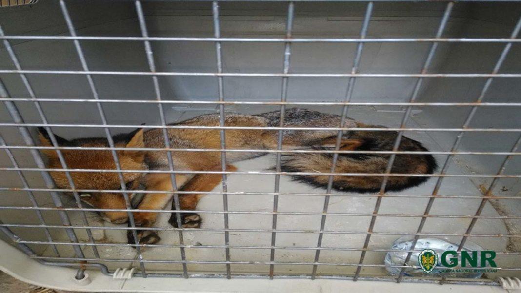 GNR recupera raposa em Messines