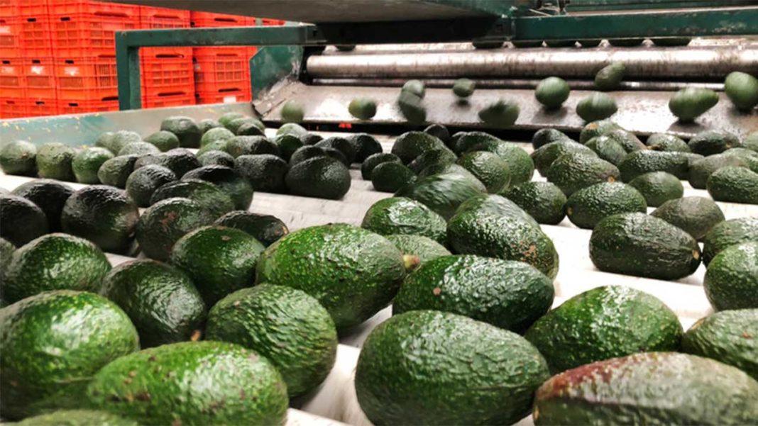 «Terra Saudável» declara guerra à monocultura de abacate em Lagos