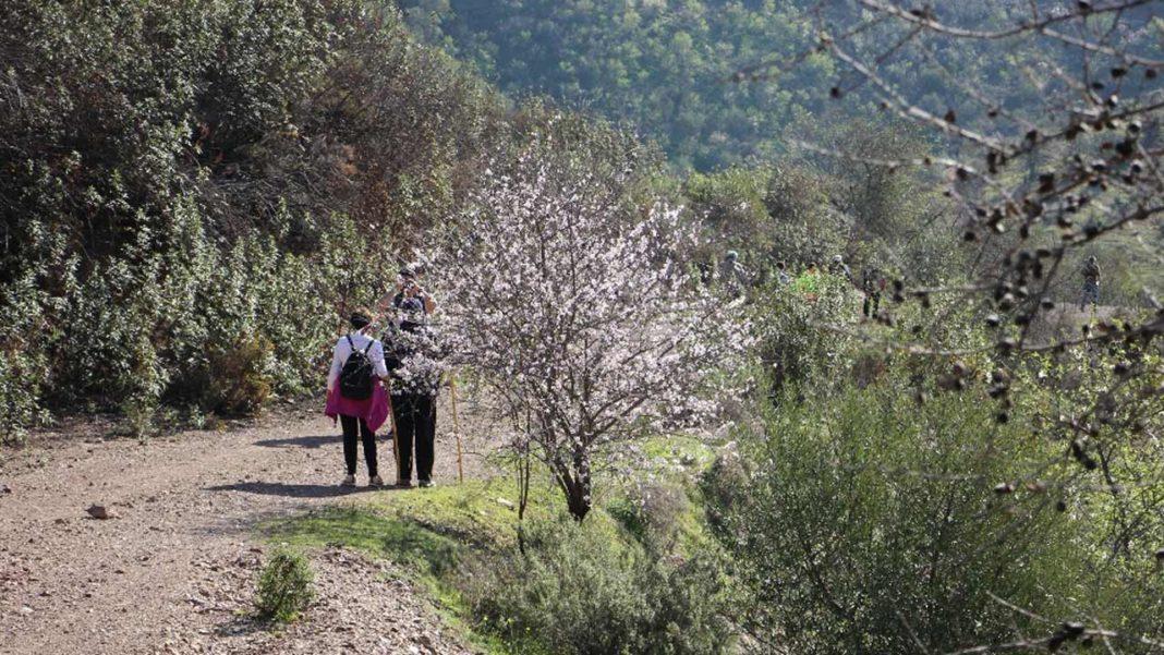 Festival das Amendoeiras em Flor