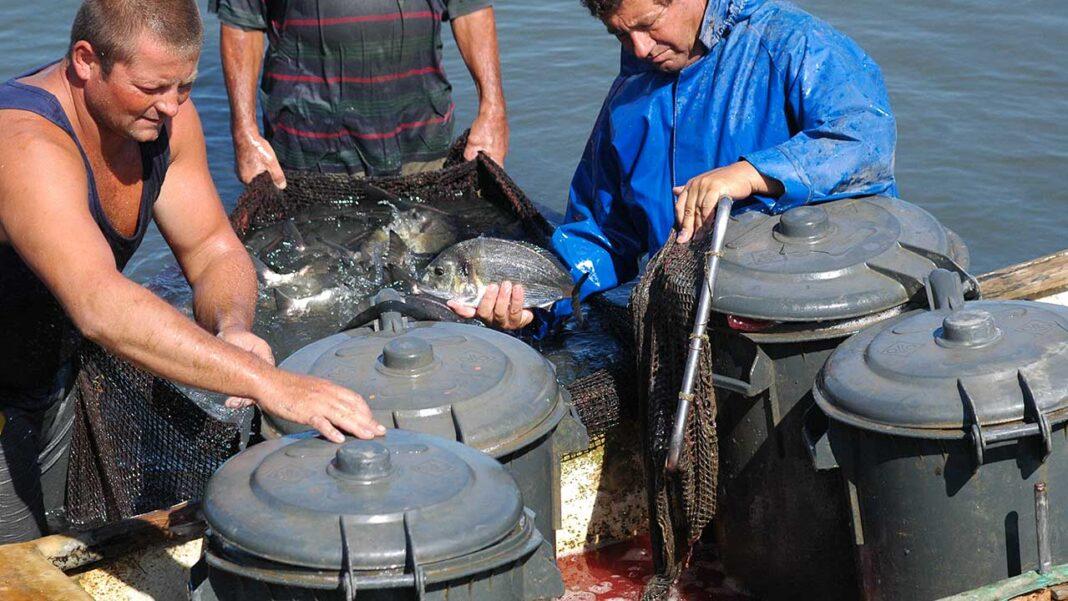 Um estudo inovador liderado pelo Centro de Ciências do Mar (CCMAR) revela que a adoção de medidas muito simples de enriquecimento ambiental, de estruturas para a melhoria do ambiente nas jaulas de cultivo, contribui muito para o bem-estar das douradas de aquacultura.