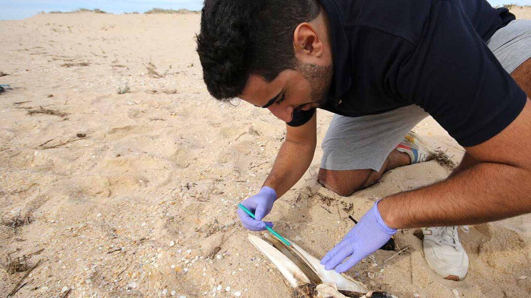 Universidade do Algarve promove projeto regional para comunicar alertas de animais marinhos arrojados em qualquer ponto da costa algarvia.