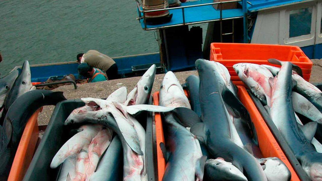 A organização ambientalista ANP | WWF, com o apoio da Fundação Oceano Azul, lança a primeira avaliação sobre tubarões e raias no mar português.
