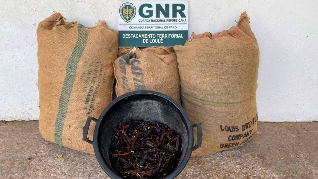 Guarda Nacional Republicana (GNR) volta a confiscar alfarrobra roubada no concelho de Loulé.