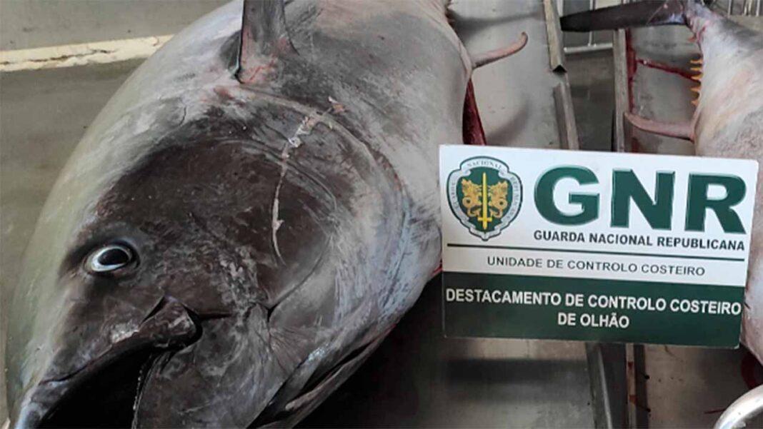 Dois Atuns-Rabilho com um peso total de cerca de 450 quilos, com um valor estimado de 8.700 euros.
