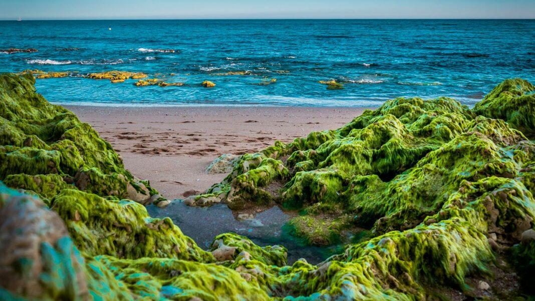 Algas invasoras